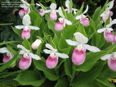 lady slippers | pink and white lady's slipper flower