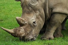 Poaching is illegal hunting, killing or capturing of wild animals also referred to the illegal harvesting of wild plant species. Its an environmental crime against the natural resources,illegal hunting of...