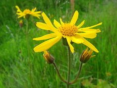 50 Arnica Montana Mountain Tobacco Seeds. ebay