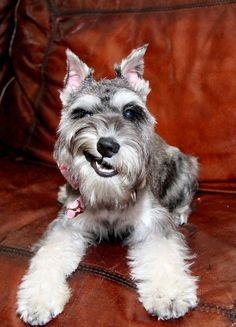 Schnauzer pick up artist