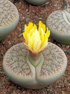Lithops pseudotruncatella (Truncate Living Stone) is a clump-forming, succulent perennial up to 2 inches (5 cm) tall, with paired...