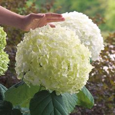 Incrediball Hydrangea arborescens Shrub - The size of basketballs, these flowerheads open a shade of key-lime, then mature to snowy white!
