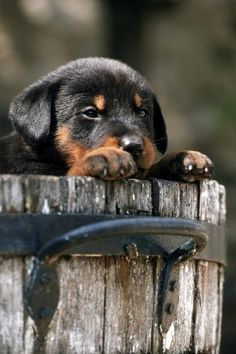 Cute Beauceron puppy taking a peek from the inside of a wooden bucket. Feel free to re-pin > Click this image to see more cute puppy pictures...