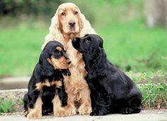 http://www.mascotissimo.com/wp-content/uploads/2012/11/Cocker-spaniel-ingles-02.jpg
