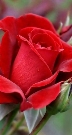 A Rose by any other name. Beautiful Flowers Wallpapers, Beautiful Rose Flowers, Flowers Nature, Amazing Flowers, Pretty Flowers, Red Flowers, Red Rose Flower, Flower Images, Flower Pictures