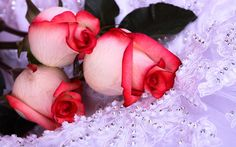 Google Image Result for http://www.sendmyflower.com/wp-content/uploads/2011/01/Beautiful-Rose-Flowers-Pictures-And-Wallpapers251.jpg