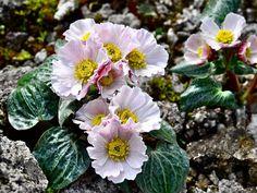 Ranunculus parnassifolius coll. Nuria