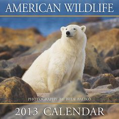American Wildlife Wall Calendar: Polar bear, grizzly and black bear, wolf, elk, moose, whitetailed and mule deer—these and others are all found here from Master Photographer Bela Baliko's wild animal portrait files. Truly, Bela does justice to these wonderful and often elusive wild animals.  $12.99  http://calendars.com/Wildlife/American-Wildlife-2013-Wall-Calendar/prod201300000696/?categoryId=cat00347=cat00347#