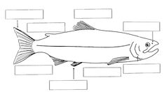 Label the Parts of a Salmon Student Worksheet 1st Grade Worksheets, Kindergarten Worksheets, Multiplication Worksheets, Elementary Science, Teaching Science, Fish Life Cycle, Fish Anatomy, Cycle For Kids, Pumpkin Life Cycle