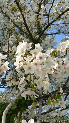 Cherry Blooms, Cherry Flower, Beautiful Photos Of Nature, Beautiful Flowers, Beautiful Pictures, Peach Blossoms, Language Of Flowers, Flower Wall, Spring Flowers