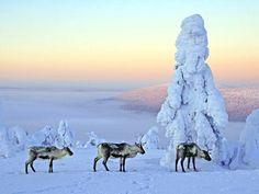 Suomi Reindeer