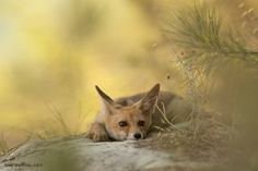 Rüppell's Fox by Alex Geifman Photography