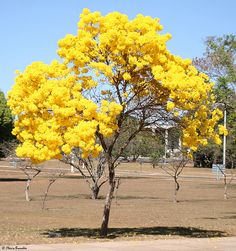 120 seeds Tabebuia chrysotricha ipê-amarelo recently collected 09 2018 Landscaping Software, Landscaping Tips, Garden Landscaping, Orchid Seeds, Flower Seeds, Outdoor Plants, Outdoor Gardens, Yellow Tree, Yellow Leaves
