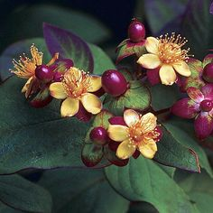 "'Albury Purple' St. John's Wort Perennial - Hypericum - 4"" Pot Hirts: St. John's Wort,http://www.amazon.com/dp/B00739N03K/ref=cm_sw_r_pi_dp_1V3-sb0WCVGQR7RD"