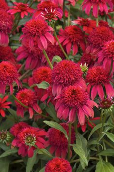 Double Scoop™ Cranberry Coneflower has giant flowers that are constantly swirling with bees and butterflies. Leave dried flowers for winter birds. Full sun. Zone: 4 – 9