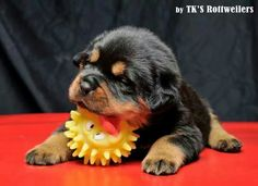 Awww... this #rottweiler #puppy is too adorable!