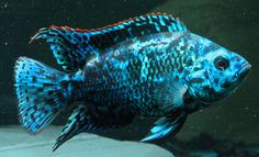 Electric blue Jack Dempsey by Orlando C on Flickr