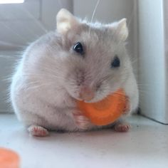 Phoebe sitting on her bum eating carrot #aww #Cutehamsters #hamster #hamstersofpinterest #boopthesnoot #cuddle #fluffy #animals #aww #socute #derp #cute #bestfriend #itssofluffy #rodents
