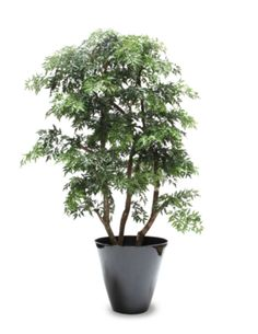 false aralia dizygotheca elegantissima plants non toxic to cats pinterest plants. Black Bedroom Furniture Sets. Home Design Ideas