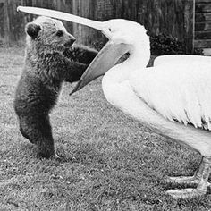 "Bear: ""Excuse me Mr. Pelican! That's MY fish you have in there!"""