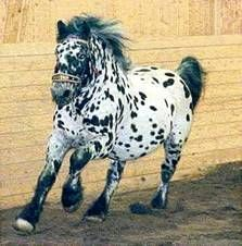 The Noriker developed from the heavy warmblood horses of the Roman and in the… Noriker Horse, Warmblood Horses, Appaloosa Horses, Draft Horse Breeds, Draft Horses, Work Horses, Horses And Dogs, Horse Girl, Horse Love
