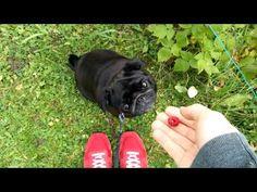Pug bites my hand - YouTube