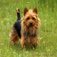 Dunham Lake Australian Terriers Dog Breeds List, Small Dog Breeds, Small Breed, Terrier Breeds, Terriers, Norfolk Terrier Puppies, Australian Terrier, Norwich Terrier, Silky Terrier