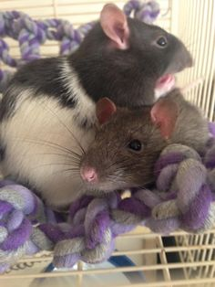 Hi guys! I might be getting two male rats, and I want to give them Doctor Who related names. I definitely wanna name one Jack (after Capt. Jack because he's my favorite companion) but I don't know what I want to name the other! I was thinking Gallifrey, but I feel like that's more of a female name. And Doctor would be kind of weird for a rat. XD If you guys have any awesome Doctor Who names, please comment! The commenter with my favorite name gets a shoutout :3