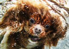 Everyone loves photos of cute dogs but what about gorgeously lit underwater photos of dogs of all breeds, size, and color nosediving into water chasing after their favorite toy? If you're like me you are tearing out your eyeballs with joy over these ultra cute and masterfully photographed photos by Seth Casteel.More puppy pool time goodness after the jump!