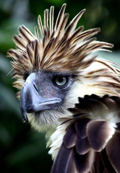 """""""How's my hair?"""" With a 7 ft wing span, the Philippine Eagle is known as one of the world's largest and most powerful eagles. (photo: JASON GUTIERREZ/AFP/Getty Images)"""