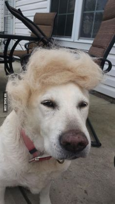 Image result for dog trump costume