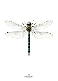 Hagedornhagen dragonfly poster 50 x 70 (not framed) Dragonfly Illustration, Dragonfly Drawing, Dragonfly Tattoo Design, Dragonfly Art, Tattoo Designs, Illustration Art, Dragonfly Tatoos, Tattoo Ideas, Insect Wings