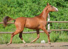 Stallion Loki Geli (Damir-Gayane) 2012 y.b. line El.