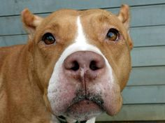 SAFE 8/21/13 Brooklyn  MANDY A0974970 Female brown/white pit bull mix 5YRS Mandy SAFER reads like a dream. She got lovely scores on everything That good rating is no protection against the nefarious shelter cold, and it has taken a hold of Mandy. She should recover from that uneventfully if treated by a regular vet, but all the ACC vet has waiting for her is a lethal injection. Please do everything possible to make sure that Mandy gets a happy new beginning tonight!