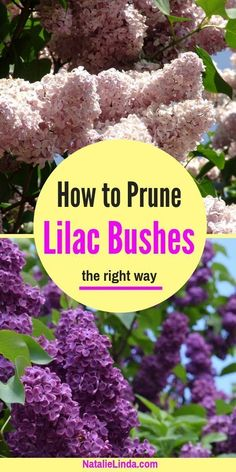 flower garden care Learn how to prune lilac bushes the right way so that they retain their beautiful shape and produce beautiful blooms every Spring! Beautiful Flowers Garden, Beautiful Gardens, Gardening For Beginners, Gardening Tips, Gardening Courses, Gardening Websites, Gardening Zones, Gardening Magazines, Gardening Vegetables
