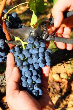 bunch of grapes Bordeaux Vineyards, Wines, Fruit, Croatia