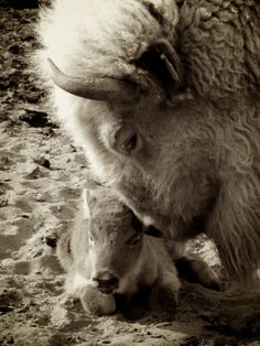 White Buffalos Tender bond of love between mother Buffalo and her calf Buffalo S, Buffalo Animal, Animals And Pets, Baby Animals, Cute Animals, Beautiful Creatures, Animals Beautiful, American Bison, Power Animal