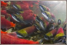 Salmon Migrations Pictures