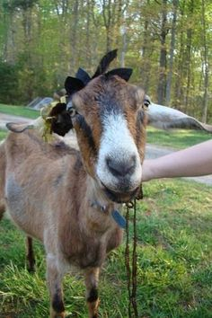 Hermione the Goat in her splendid new hat. From Missing Willow Farm, Virginia.