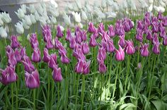 Tulip Ballade | DutchGrown®