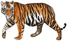 This tutorial will teach you how to draw a Tiger, step by step. We will draw a Siberian Tiger. Horse Head Drawing, Tiger Drawing, Drawing Drawing, Drawing Lessons, Drawing Board, Drawing Tips, Pet Tiger, Tiger Art, Realistic Cat Drawing