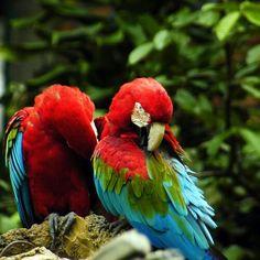 #amazing #cute #nice #beautiful #green #blue #tosca #black #white #orange #colorful #parrots #bird #poultry #perched on a #tree #branch taken by #nikon #nikontop #nikond70 #d70 #studio35inframe #indophoto #indobestphoto #indonikon #wild #life #animal #bokeh #nikkor #travel #traveling #vacation