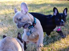 Blue fawn French bulldog playing rough Blue Fawn French Bulldog, French Bulldog Puppies, French Bulldogs, Tiny Dog, Puppy Play, Bull Terriers, Pit Bulls, Doge, Cute Puppies