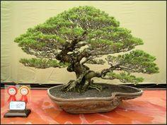foto bonsai termahal di dunia