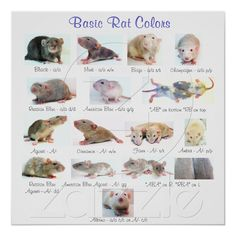 Basic Rat Colors. My girls are fawn, according to the rat rescue where I got them