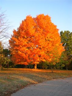 acer saccharum  sugar maple | So pretty!  I wish I had one of these in my yard!