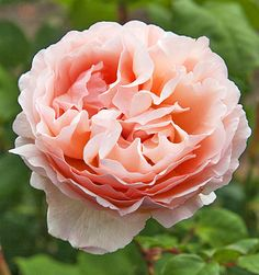 Hey, I found this really awesome Etsy listing at https://www.etsy.com/listing/258209406/tea-rose-seeds-rose-princesse-charlene