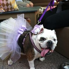 My English Bulldog, Chunk, actually got married at the Saguaro Hotel in Scottsdale, Arizona!   Submitted by Sandra Guadarrama-Baumunk