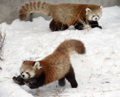 Pix For > Red Panda Cubs Playing In Snow