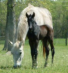 Westphalia Ranch Foundation, dedicated to the preservation of the Quarter Horse, posted via westphalia-ranch.com